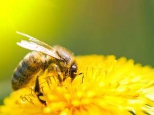 abeille-1