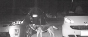 Night video Of Dog Attacking The Cars