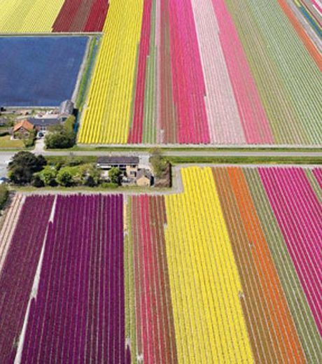 The Real Fields Of Tulips.