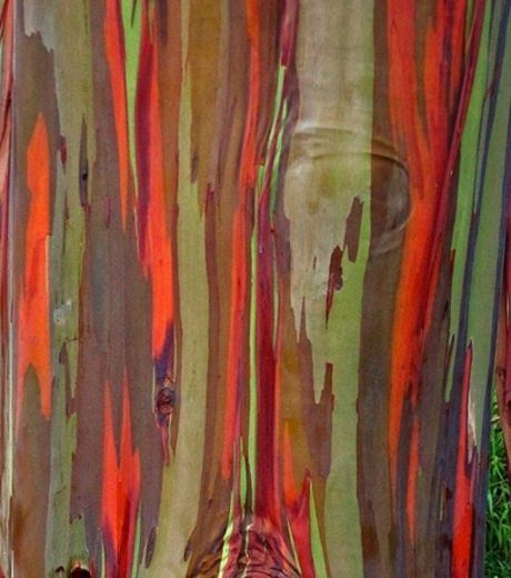 The Bark  of Eucalyptus
