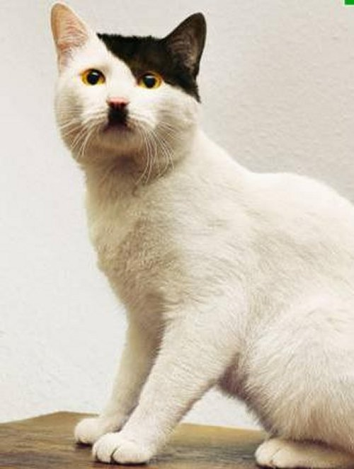 Figure 3: A cat that looks like Adolf Hitler