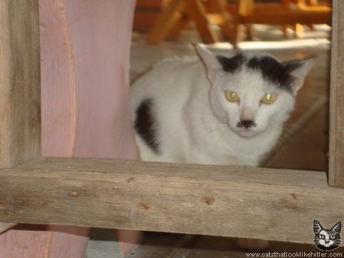 Figure 9: A cat that looks like Adolf Hitler