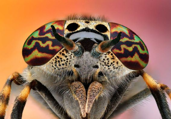 Figure 7: An Insect With Beautiful Eyes