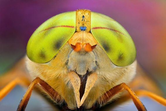 Figure 1: An Insect With Beautiful Eyes