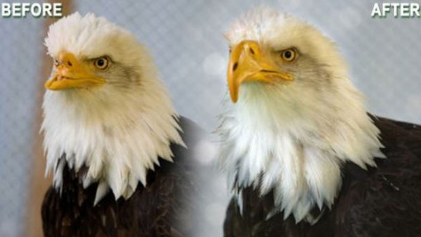 An eagle Disfigured By A Poacher Finds Its Beak Again