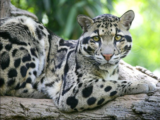 The Magnificient Clouded Leopard