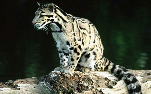 The Rare Clouded Leopard
