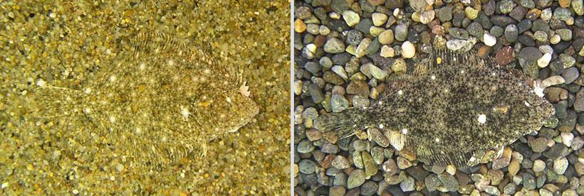 Kareius Bicoloratus Camouflage