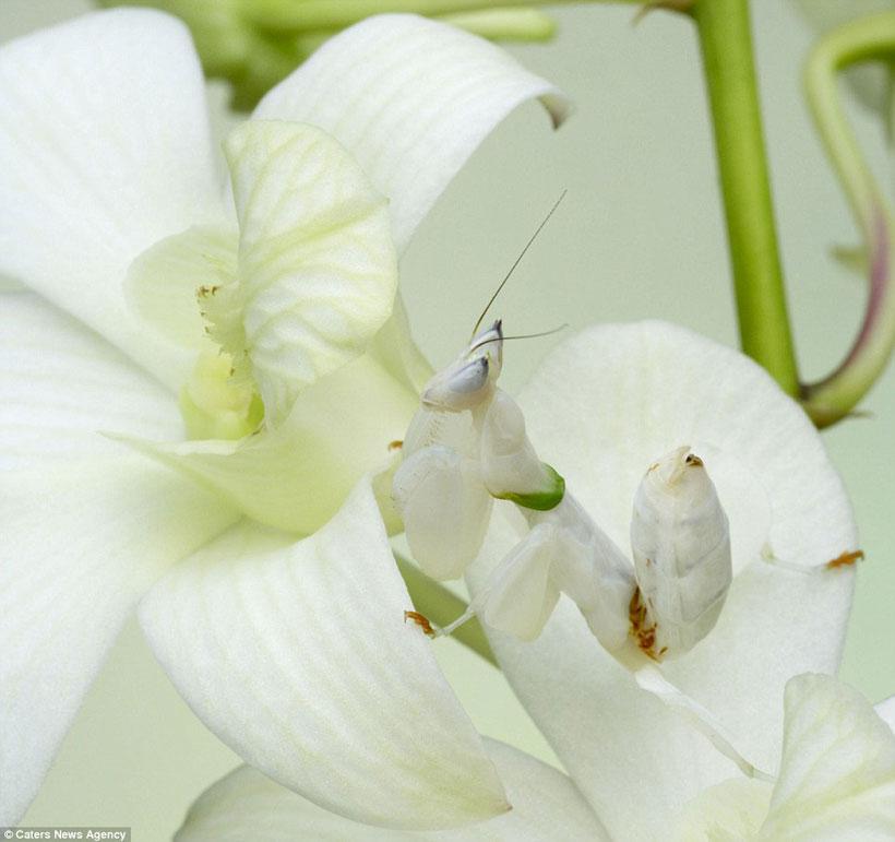 Mantis Camouflage
