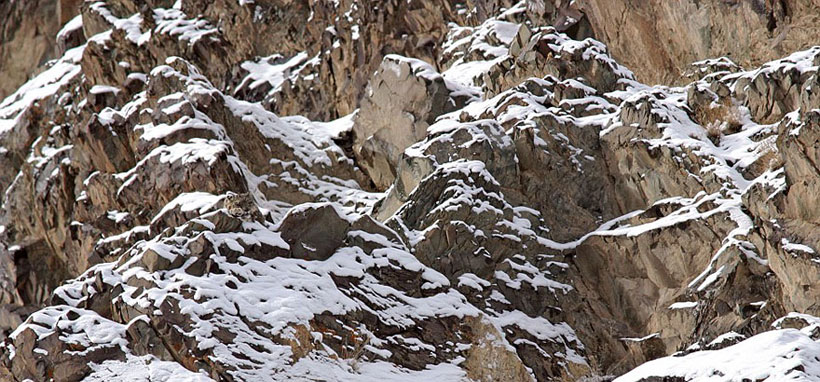 Snow leopard camouflage