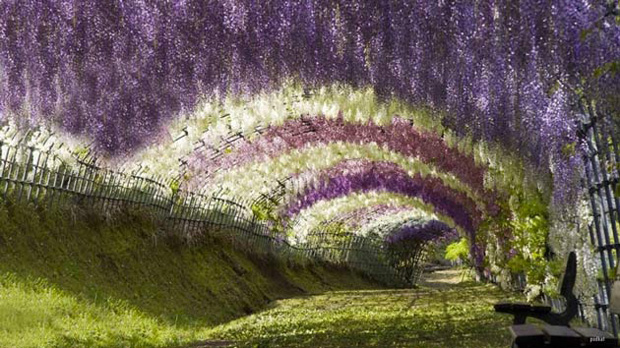 Wisteria Tunnel, Kitakyushu gardens,  Kawachi Fuji, Japan.