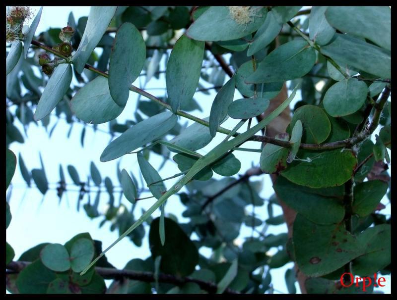 Tropidoderus Childrenii Camouflage