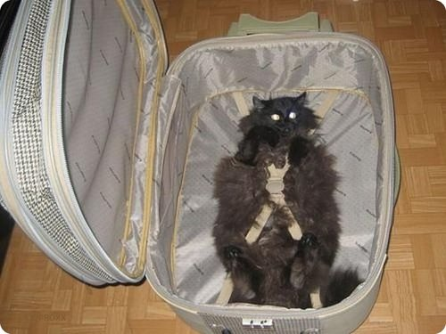Cat Lying inside a suitcase