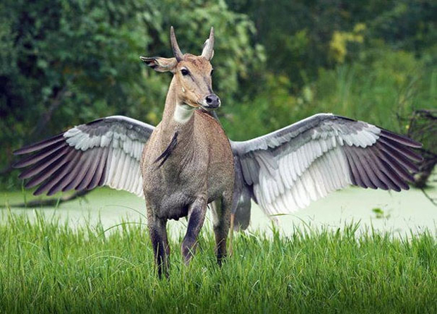Seems as if animal has wings.