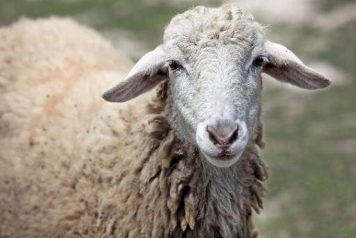 sheep smartphone