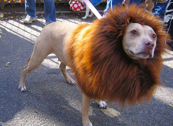 A Dog Dressed As A Lion