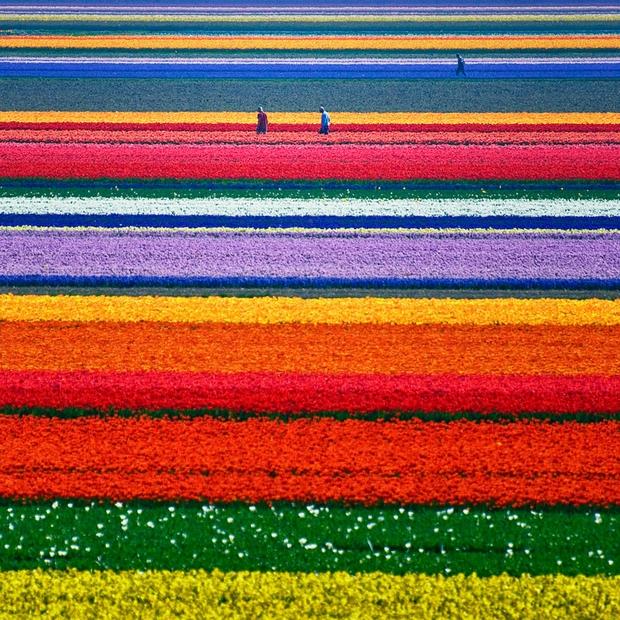 Поля Тюльпанов, Нидерланды