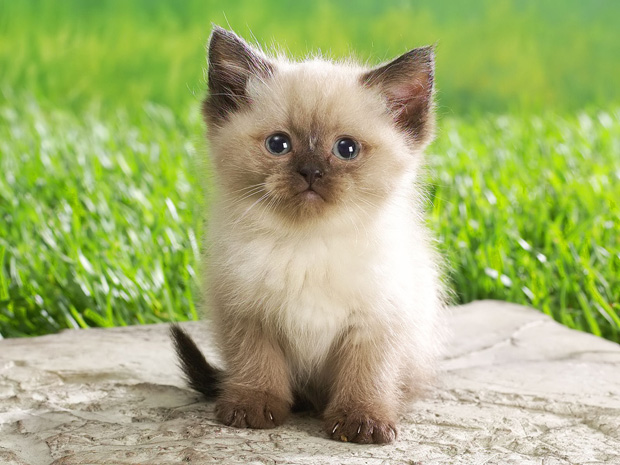 Innocent white and brown kitten