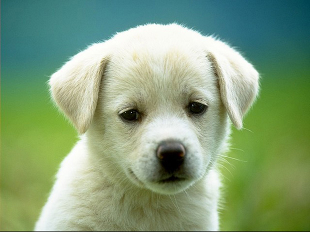 innocent white puppy