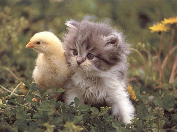 Cute kitten with a yellow chick