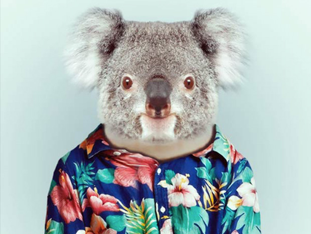 Koala bear More Smartly Dressed Than Human Beings