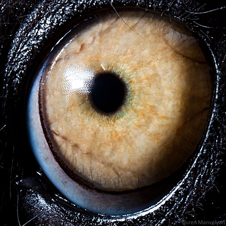 The Most beautiful eye of A lemur