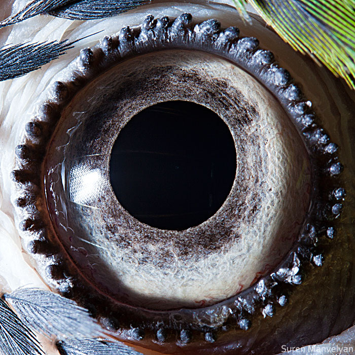 The Most beautiful eye of A Macaw Parrot