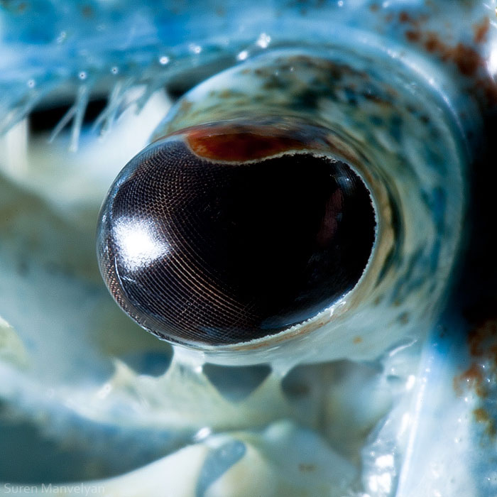 The Most beautiful eye of blue crayfish