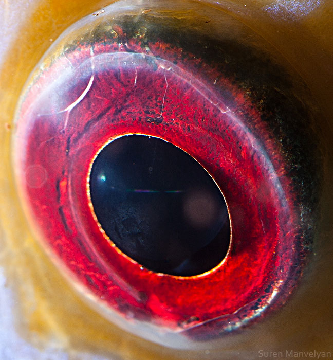 The Most beautiful eye of discus fish