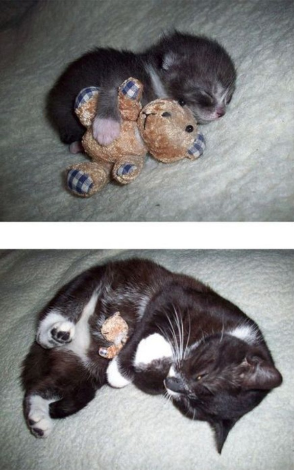 Amazing Pictures Of Kittens From The Enfant/Adult project-cat with teddy bear