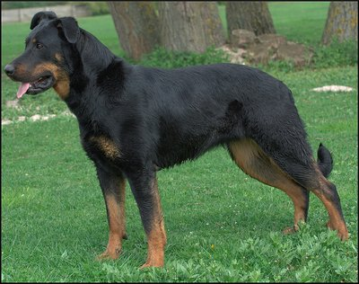 The Beauceron