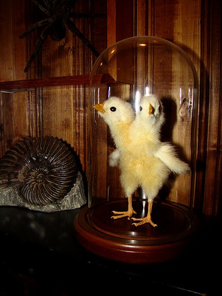 Amazing and strange: A chicken with two heads