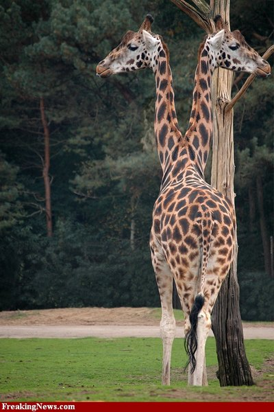 Amazing and strange: A Giraffe with two heads