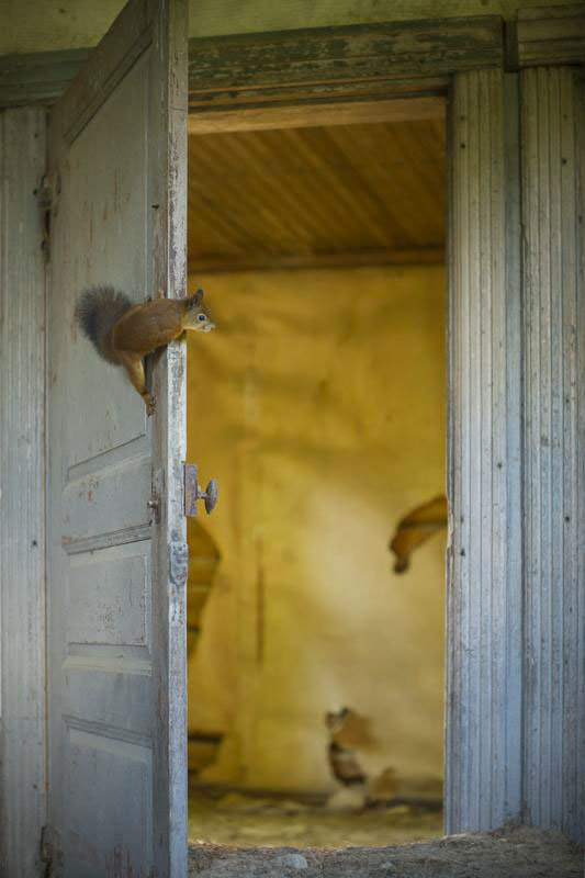 squirrel-Animal Families Living In An Abandoned House In Woods