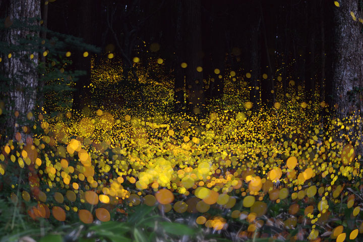 Japanese Landscapes Illuminated By Fireflies 2