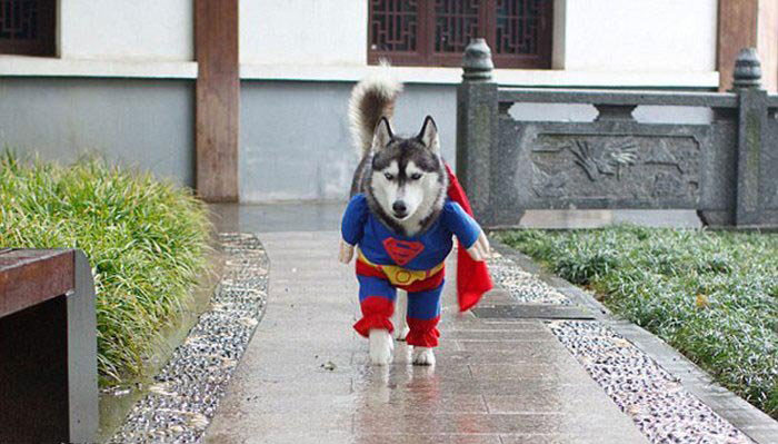 The canine version of Superman: Super Husky!-Amazing Animal Halloowen Disguises