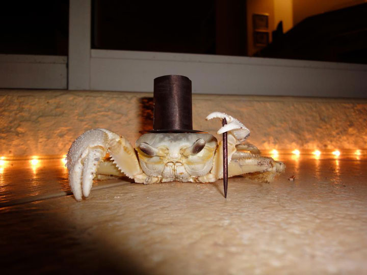 The gentleman crab-Amazing Animal Halloowen Disguises