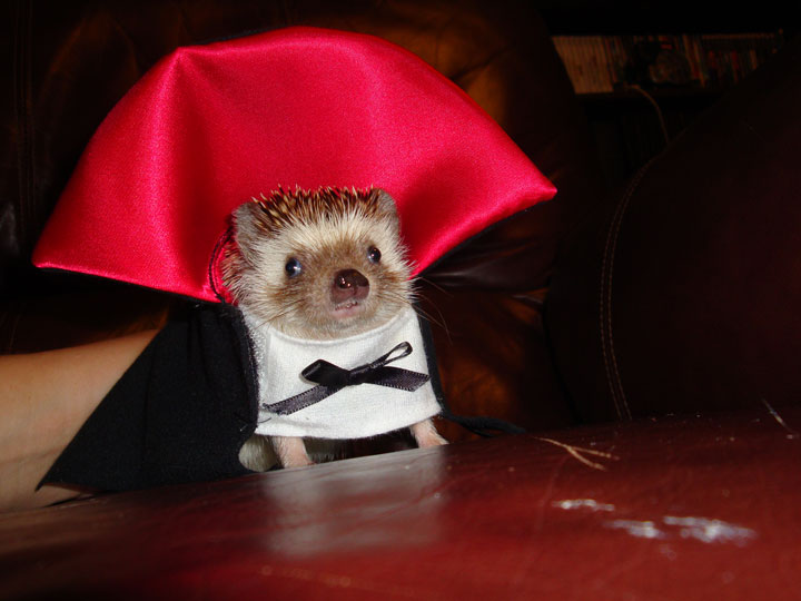 The vampire hedgehog-Amazing Animal Halloowen Disguises