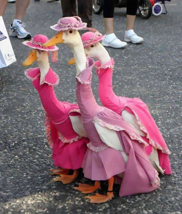 Bourgeois geese-Amazing Animal Halloowen Disguises