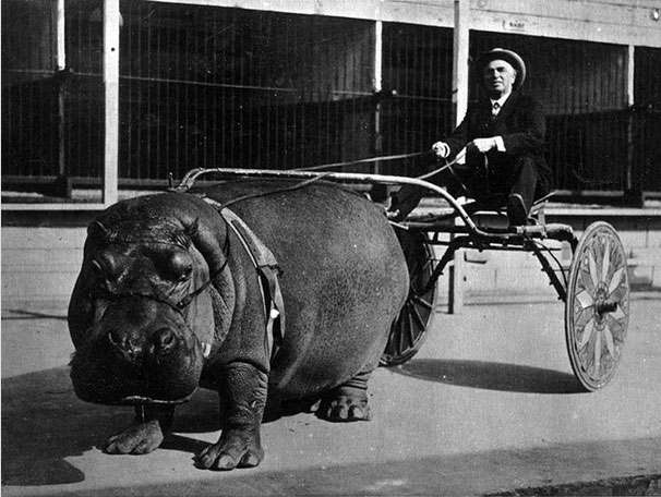 A hippopotamus circus pulls a carriage in 1924