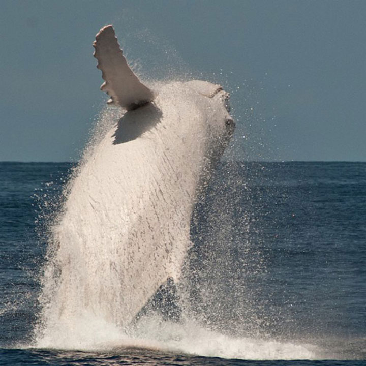 Migaloo The White Whale Australia 8
