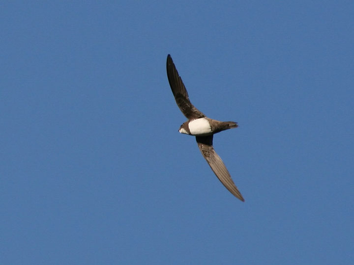 Royal Martinet Swift: A Bird That Can Fly For 6 Consecutive Months Without Landing