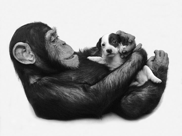 Chimpanzee and Dog