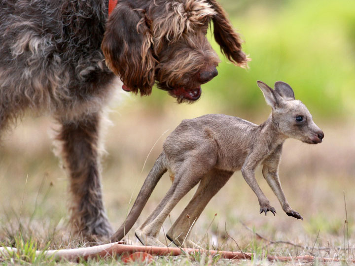 Dog and Kangaroo