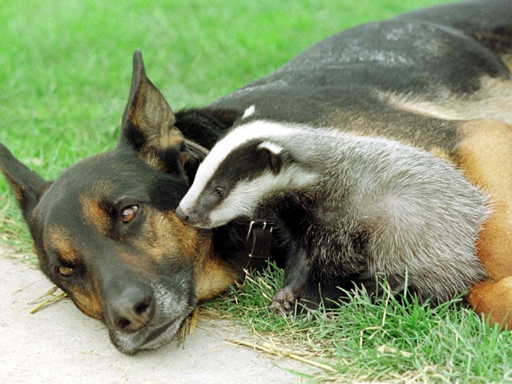 Dog and Badger