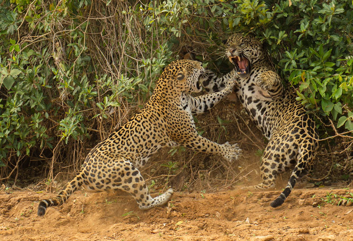 Leopards-Award Winning Wildlife Photographs From Wildlife Photographer Contest