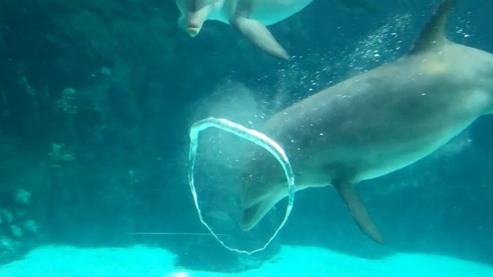Artists Dolphins Create Beautiful Rings In Water
