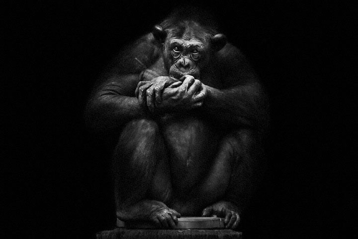 Chimpanzees-Mysterious beauty of animals captured in portraits-