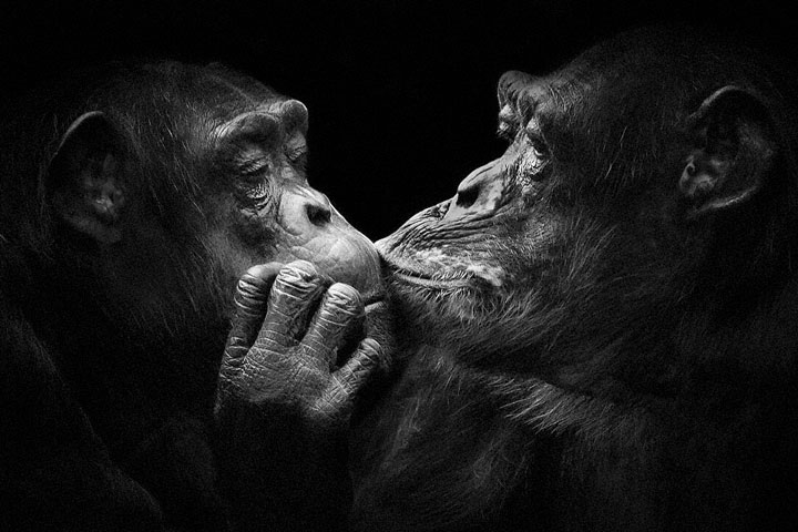 Chimpanzees-Mysterious beauty of animals captured in portraits-1