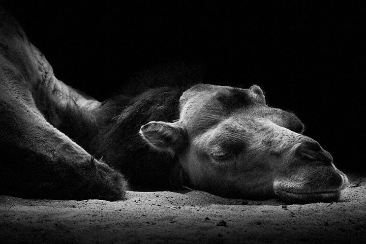 Camels-Mysterious Beauty Of Animals Captured In Striking Portraits-13